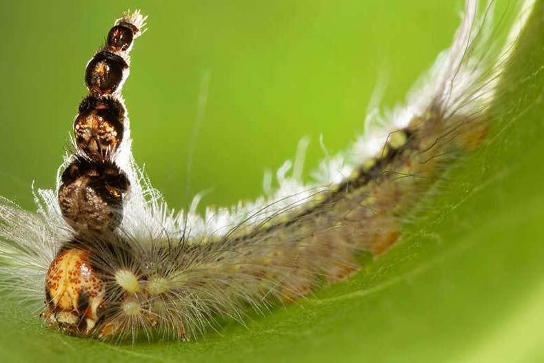 Hatterpillar
